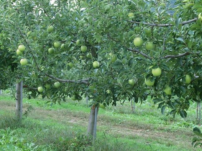 Зеленые яблоки сорта Семеренко на деревьях в возрасте десяти лет