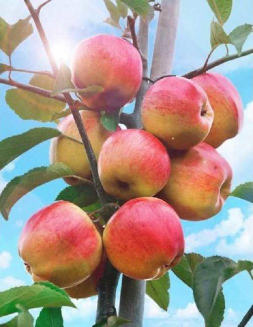 Спелые яблоки красно-желтого цвета сорта Татьяна на колоновидном подвое