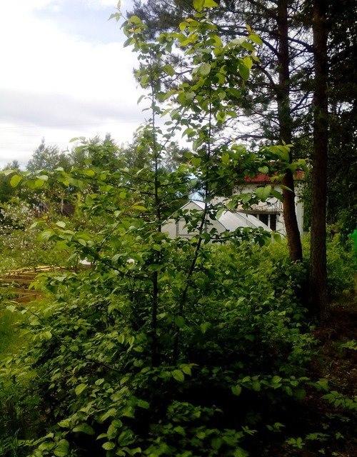 Сильное затенение яблони близко растущими высокими деревьями