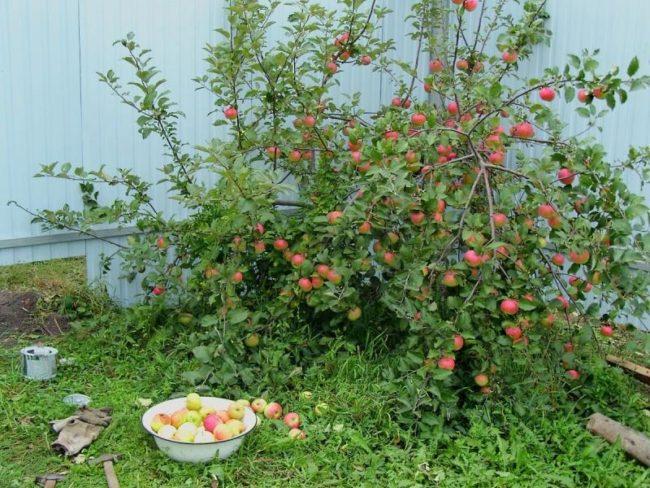 Компактная крона карликовой яблони, растущей в углу дачного участка