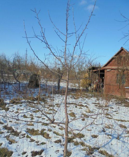Голые ветки на молодой яблоньке в начале зимнего сезона