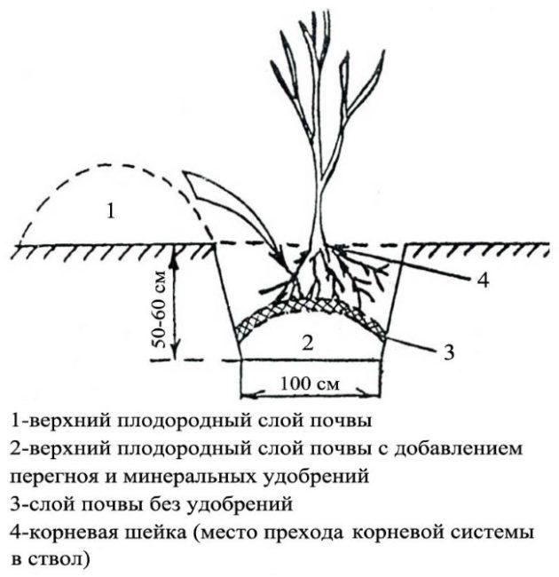 Схема ямы для весенней посадки сливового саженца в плодородный грунт