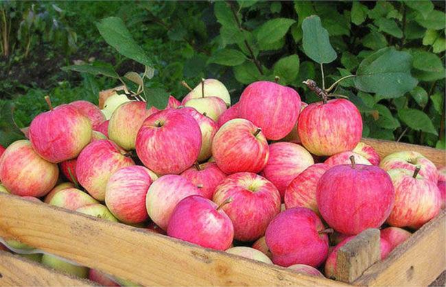 Деревянный ящик с собранным урожаем яблок сорта Осеннее полосатое
