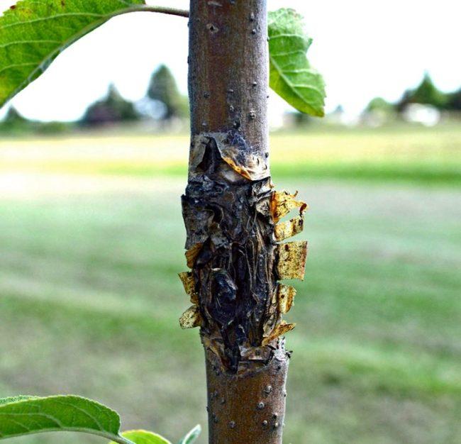 Ствол молодой яблони с трещинами в коре и глубоки язвами в кадмии