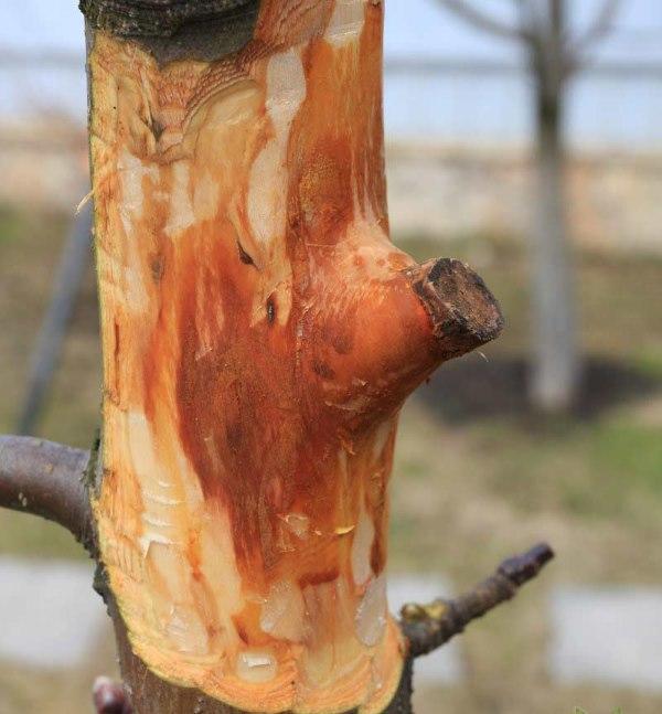 Зачистка центрального ствола яблони перед залечиванием обширной раны