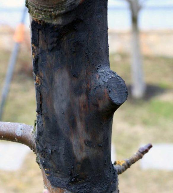 Темная древесина на поврежденном стволе яблони возле спиленного сучка