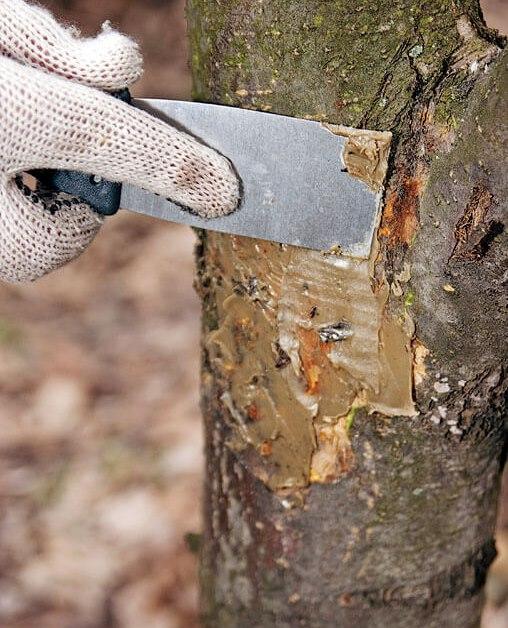Замазывание неглубоких трещин в коре яблони садовым варом с помощью шпателя