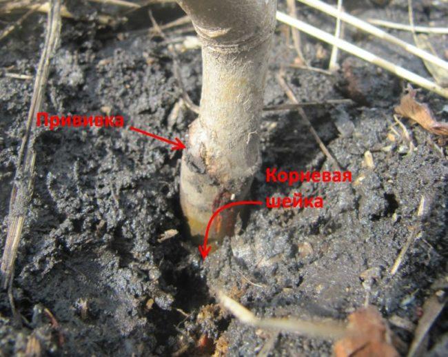 Заглубление корневой шейки ниже поверхности земли у молодой яблони