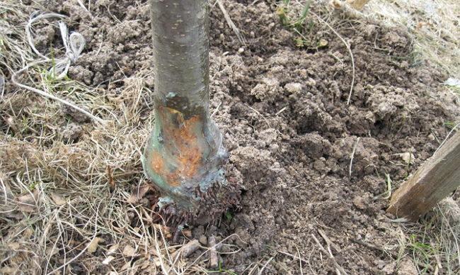 Загнивание нижней части ствола яблони при переувлажнении почвы