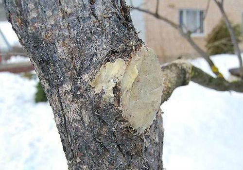 Садовый вар на месте спила больной ветки на старой яблоне