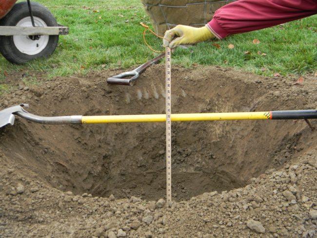 Замер рулеткой глубину посадочной ямы для саженца яблони