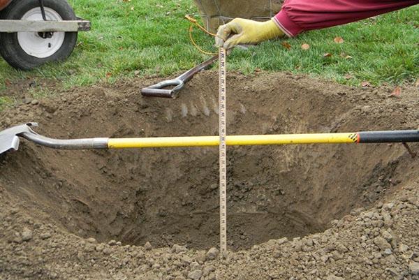 Замер глубины посадочной ямы для сливы с помощью рулетки и лопаты