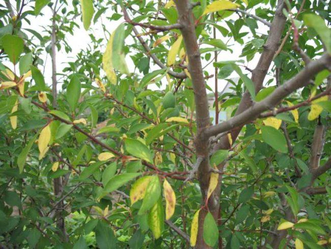 Пожелтевшие листья на ветка шестилетней сливы сорта Орловский сувенир