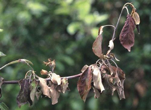 Признаки поражения яблони бактериальным ожогом в виде усыхания листьев
