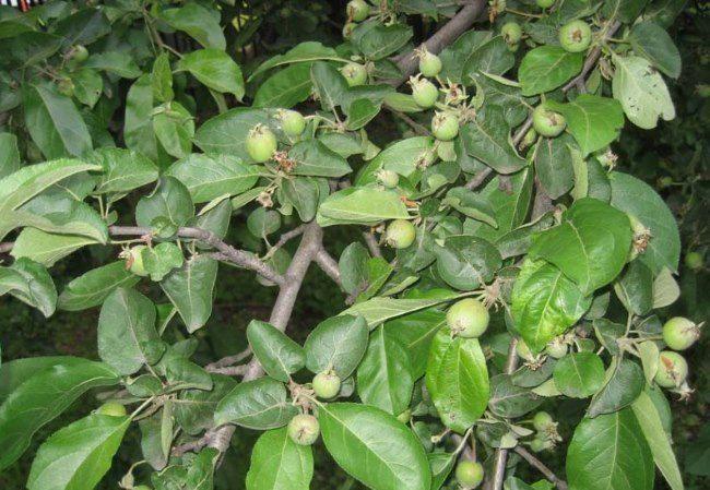 Дерево яблони с нормальным количеством завязей на ветках