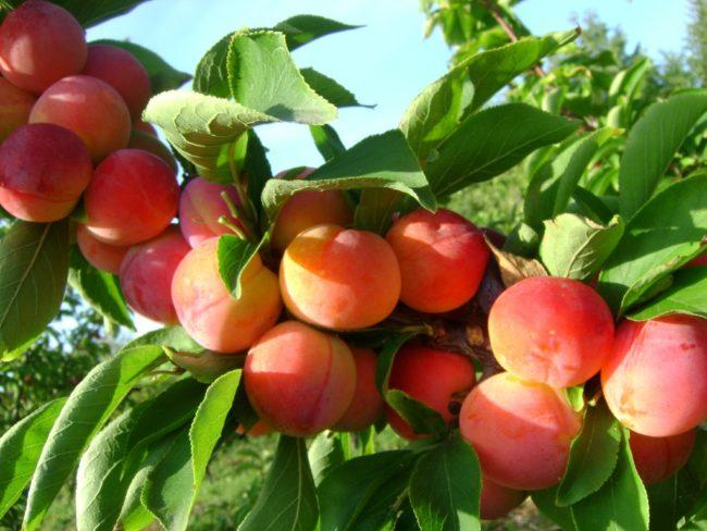 Ветка сливы с плодами оранжево-красного цвета сорта Алтайская Юбилейная