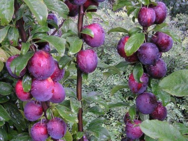 Вертикальные ветки сливы сорта Алыча колоновидная с плодами бардового окраса