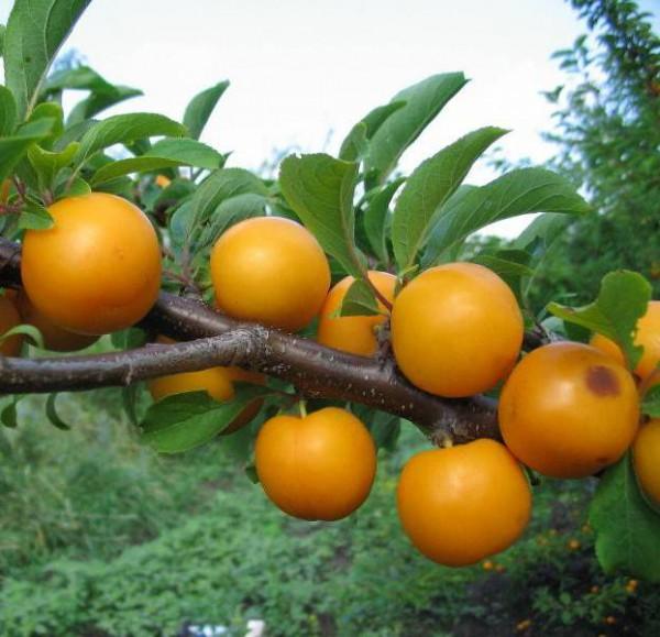 Круглые плоды ярко-желтого цвета на ветке сливы сорта алыча мара
