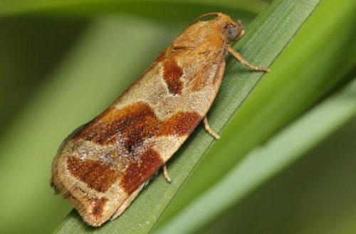 Пятнистая окраска бабочки листовертки на молодом побеге сливового дерева