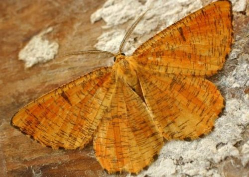 Коричневые крылья взрослой бабочки сливовой пяденицы