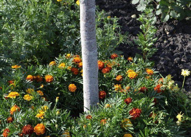 Выращивание бархатцев в приствольном круге плодового дерева