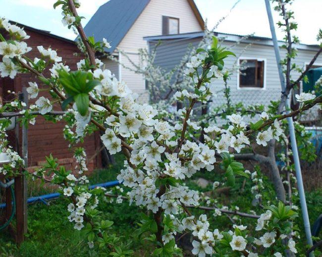Крупные цветки с белыми лепестками на ветках молодой сливы