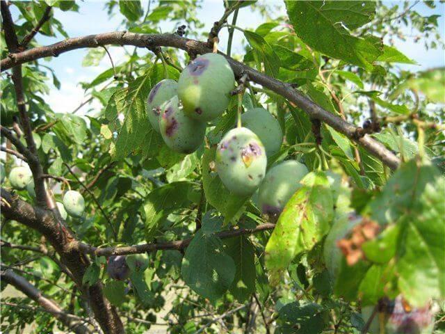 Болезни листьев и плодов сливы на примере дерева с запущенной кроной