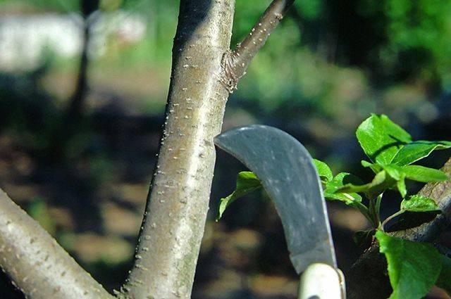 Проведение бороздования на тонком стволе молодой сливы с помощью ножа