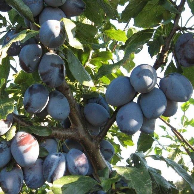 Ветки дерева с плодами сорта Чернослив Хабаровский сине-фиолетового окраса