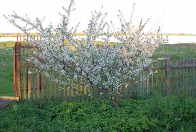 Обильное цветение молодого деревца сливы на участке с деревянным забором