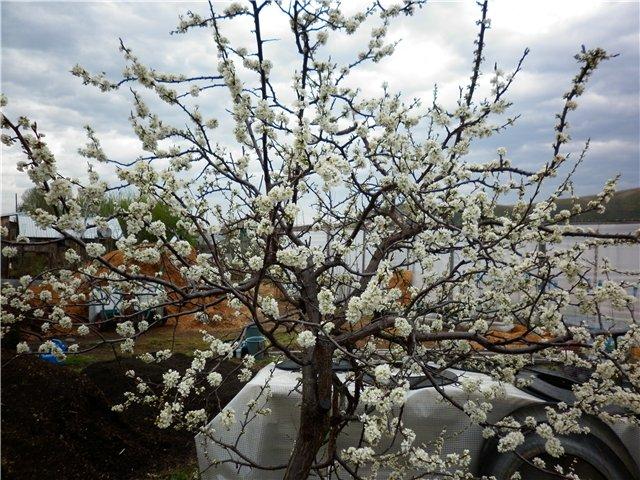Цветение взрослого дерева сливы с ухоженной кроной круглой формы