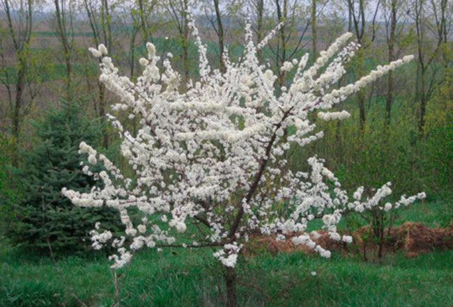 Обильное цветение молодого деревца сливы в саду Западной Сибири
