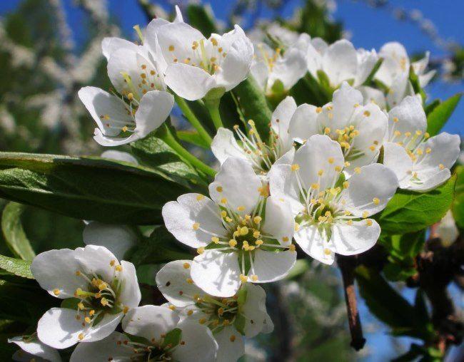 Крупные цветки с белыми лепестками на ветки сливового дерева в начале весны