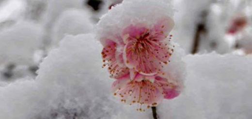 Цветок сливы под снегом в Сибири