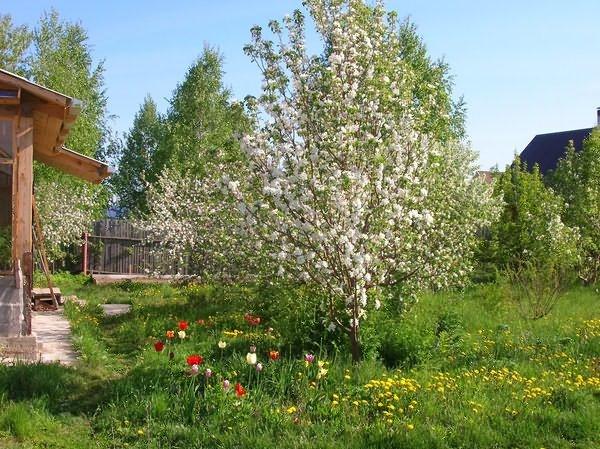 Дерево яблони средней высоты во время обильного цветения на дачном участке