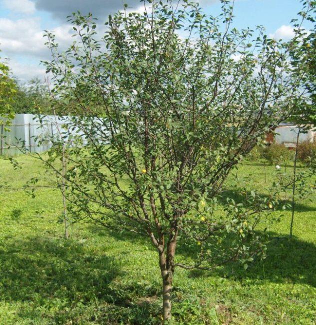 Взрослое дерево сливы высотой в три метра в саду Уральского региона