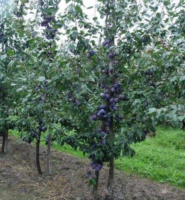 Дерево взрослой сливы гибридного сорта Фиолетовая с плодами на ветках