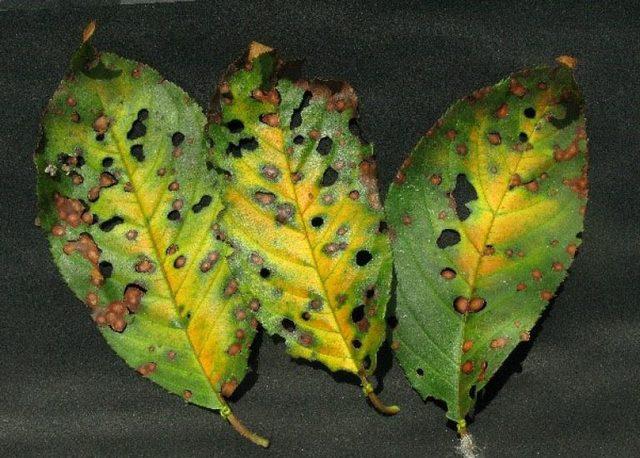Три листика сливы с признаками заражения дырчатой пятнистостью