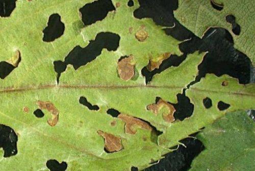 Лист сливы с дырками при поражении растения клястероспориозом