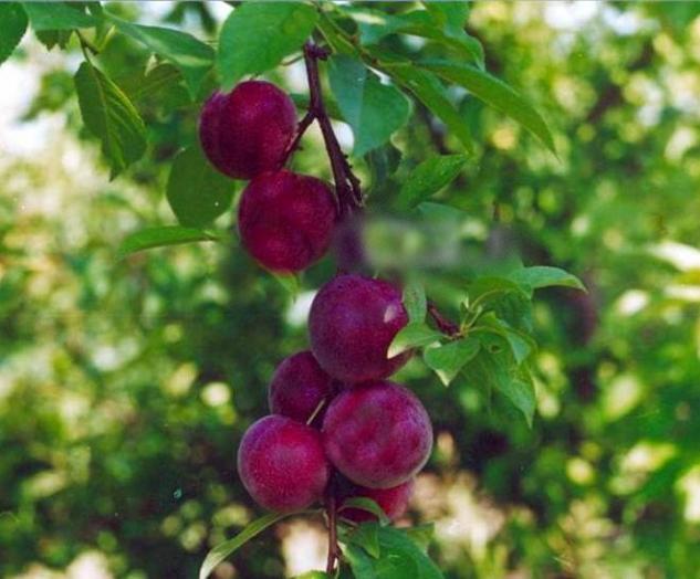 Небольшие плоды на гибридном дереве сорта Конкурент в саду Сибири