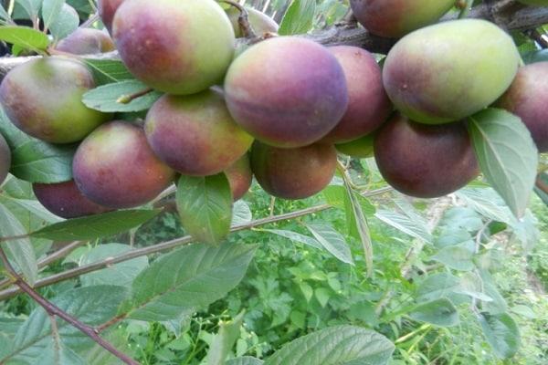 Зеленовато-бурые плоды вишнево-сливового гибрида Пчелка на ветке невысокого куста