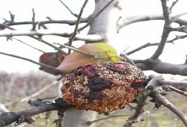 Мумифицированный плод сливы не ветке без листьев в осенний период