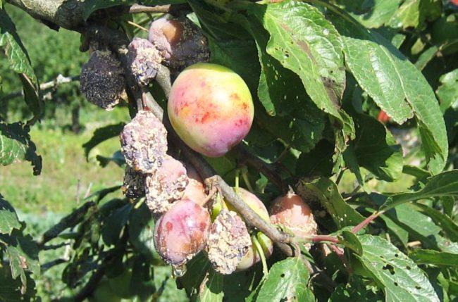 Гниение плодов на ветках сливы в середине лета вследствие грибкового заболевания