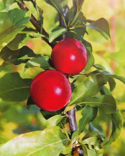 Спелые плоды на ветке сливы гибридного сорта Гордость Урала