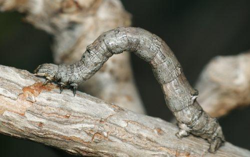 Одеревеневшая ветка сливы с серой гусеницей пяденицы