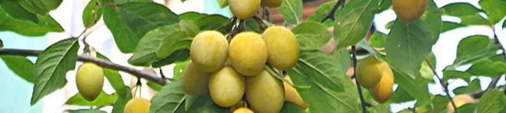 Сорт жёлтой сливы плодоносит в Сибири плоды на ветках