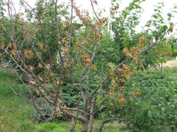 Погибшее деревце сливы пр поражении растения вирусом карликовости