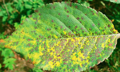 Первичные признаки коккомикоза сливы на листьях в виде мелких пятен