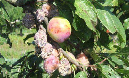 Засыхание и гибель плодов сливы при заражении дерева коккомикозом