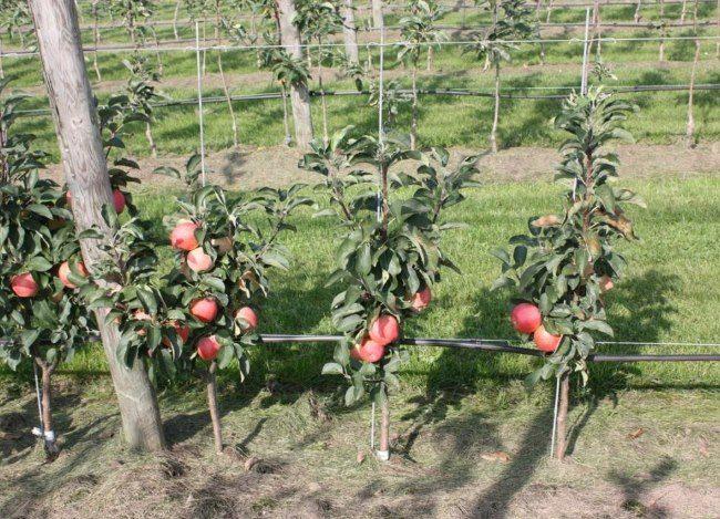 Низкие колоновидные яблони с плодами красноватого оттенка в саду фермерского хозяйства